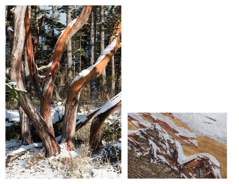 Arbutus in Snow
