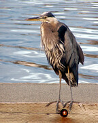 Heron on Guard